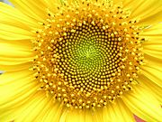 Natural Fibonacci Numbers in a Sunflower